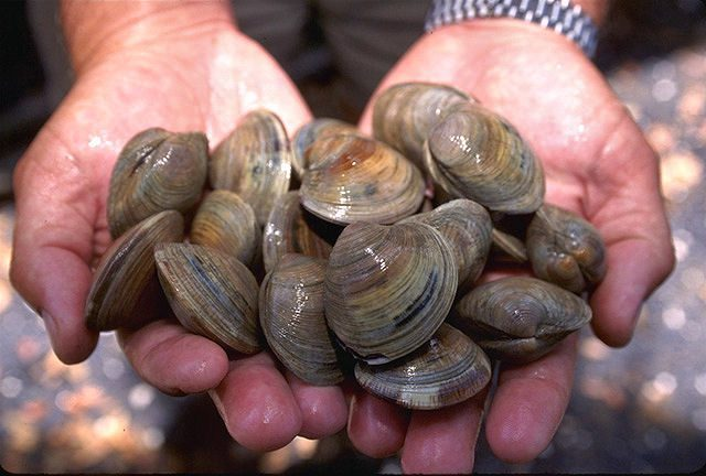 cherrystone clams in palm of two hands
