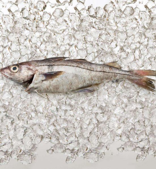 Fresh Haddock on Ice
